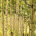 Aspen Forest by Dawn Morrow