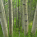 Aspen Forest In Spring by Tim Fitzharris