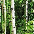 Aspen Grove 2 by Tim Allen