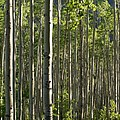 Aspen Grove Along Independence Pass II 2009 by Jacqueline Russell