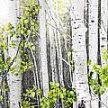 Aspen Grove by Elena Elisseeva