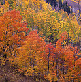 Aspen Grove In Fall Colors by Tim Fitzharris