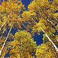 Aspen Grove In Fall by Tim Fitzharris
