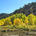 Aspen Grove In The Fall by Robert Bales