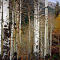 Aspen In The Rockies by Lynn Sprowl
