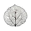 Aspen Leaf Skeleton 1 by Agustin Goba