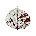 Aspen Leaf Skeleton 2 by Agustin Goba