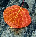 Aspen Leaf  by Vishwanath Bhat