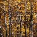 Aspen by Lee Kirchhevel