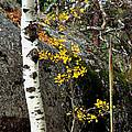 Aspen by Linda Cox