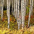 Aspen Panoramic by Carol Milisen