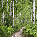 Aspen Path by Sharon Foster