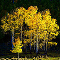 Aspen Stand by David Lee Thompson