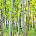 Aspen Tree Forest Autumn Time  by James BO Insogna