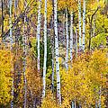Aspen Tree Magic by James BO Insogna