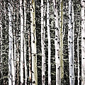 Aspen Tree Trunks by Elena Elisseeva