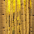 Aspen Tree Trunks by Photography By Teri A. Virbickis