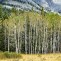 Aspen Trees Along The Bow Valley by Panoramic Images