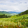 Aspen Trees And Wildflowers by Panoramic Images