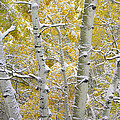 Aspen Trees Covered With Snow by Tim Fitzharris