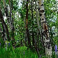 Aspen Trees by Crystal Miller