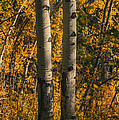 Aspen Trees In Autumn by Vishwanath Bhat