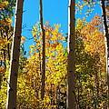 Aspen Trees In Fall by Amy McDaniel