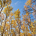 Aspen Trees In The Fall by Jeff Goulden