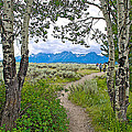 Aspen Trees On Trail To Jackson Lake At Willow Flats Overlook In Grand Teton National Park-wyoming  by Ruth Hager