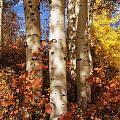 Aspen Trunks And Red by Mitch Johanson