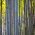 Aspen Trunks by Inge Johnsson