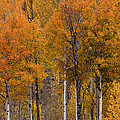 Aspens Ablaze by Wes and Dotty Weber