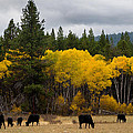 Aspens And Cows by Mick Anderson