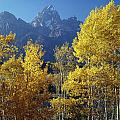1m9356-v-aspens And The Grand Teton by Ed  Cooper Photography