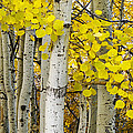 Aspens At Autumn by Andrew Soundarajan