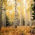 Aspens by Fred Wilson