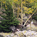 Aspens From Rocks by Sally Weigand