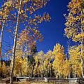 Aspens In Fall - V by Ed  Cooper Photography