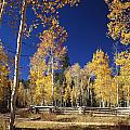 Aspens In Fall by Ed  Cooper Photography