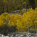 Aspens In Snow by John Shaw