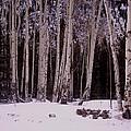 Aspens In Snow by Lanita Williams