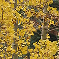 Aspens In The Fall 1 by Jacqueline Russell