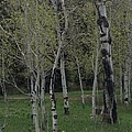 Aspens In The Spring by Shawn Hughes