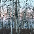 Aspens In Twilight by Brandi Maher