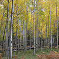 Aspen's Yellow Glow by Ruth Jolly