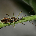 Assassin Bug by Betty Depee