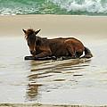 Assateague Foal