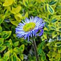 Aster Daisy by MTBobbins Photography