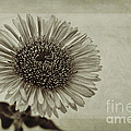 Aster With Textures by John Edwards
