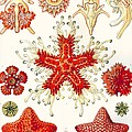 Asteridea by Ernst Haeckel